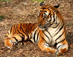 Tiger Samui Zoo