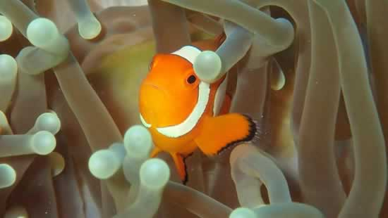 Scuba Diving - Anemone Fish